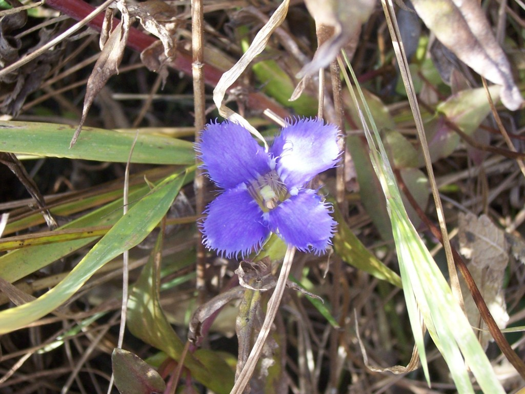 fringed gentian close up