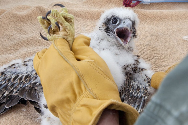 Of Peregrines and People: Banding Milwaukee's Falcons