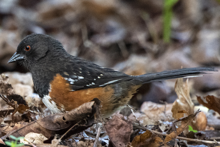 The Towhee's Lesson in Noticing
