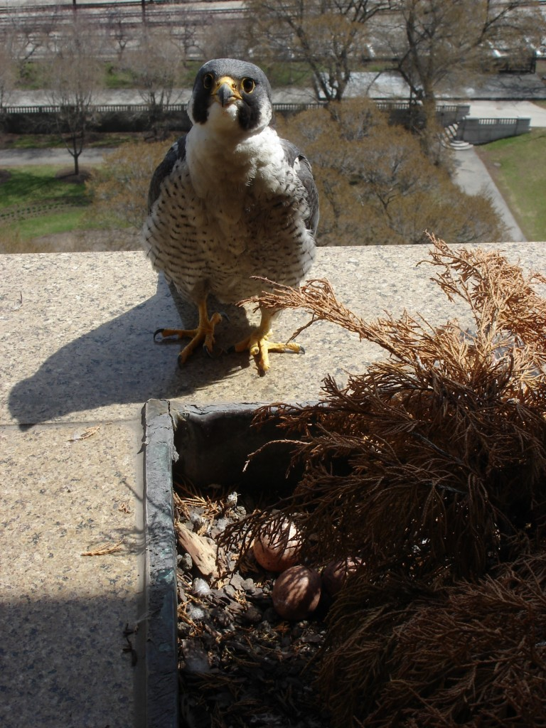 A Peregrine falcon nest with eggs on ledge of building.