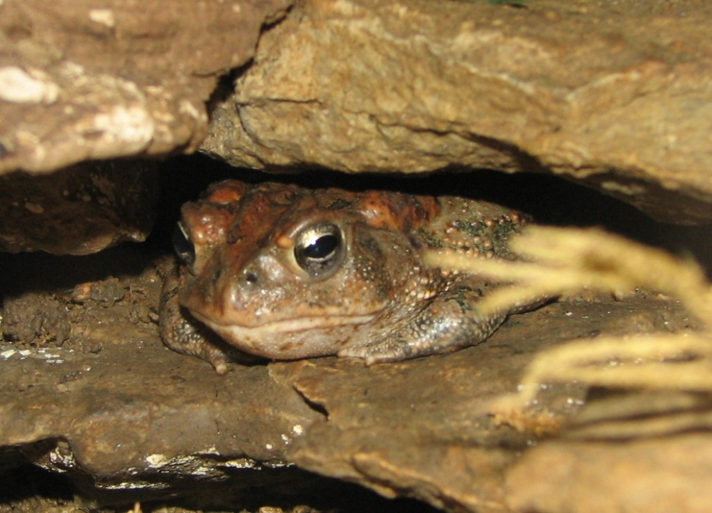 American_Toad_Image_003