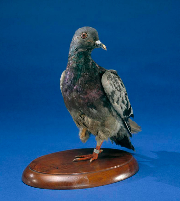 Cher Ami - Smithsonian Institute