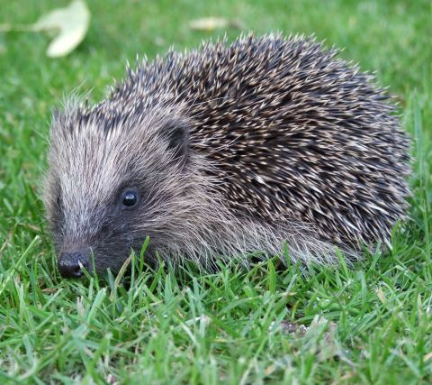 A Tale of Two Countries and Two Species: The Hedgehog and