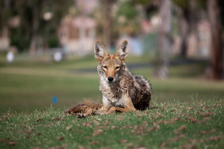 A Coyote Drank My Latte: Encounters with Suburban Wildness