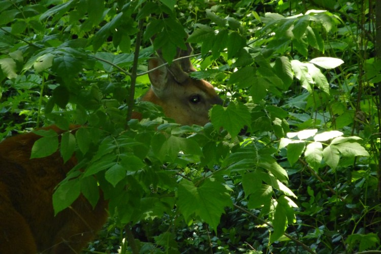 The Needle Chase: The Travails of Deer Immunocontraception-on-Hudson