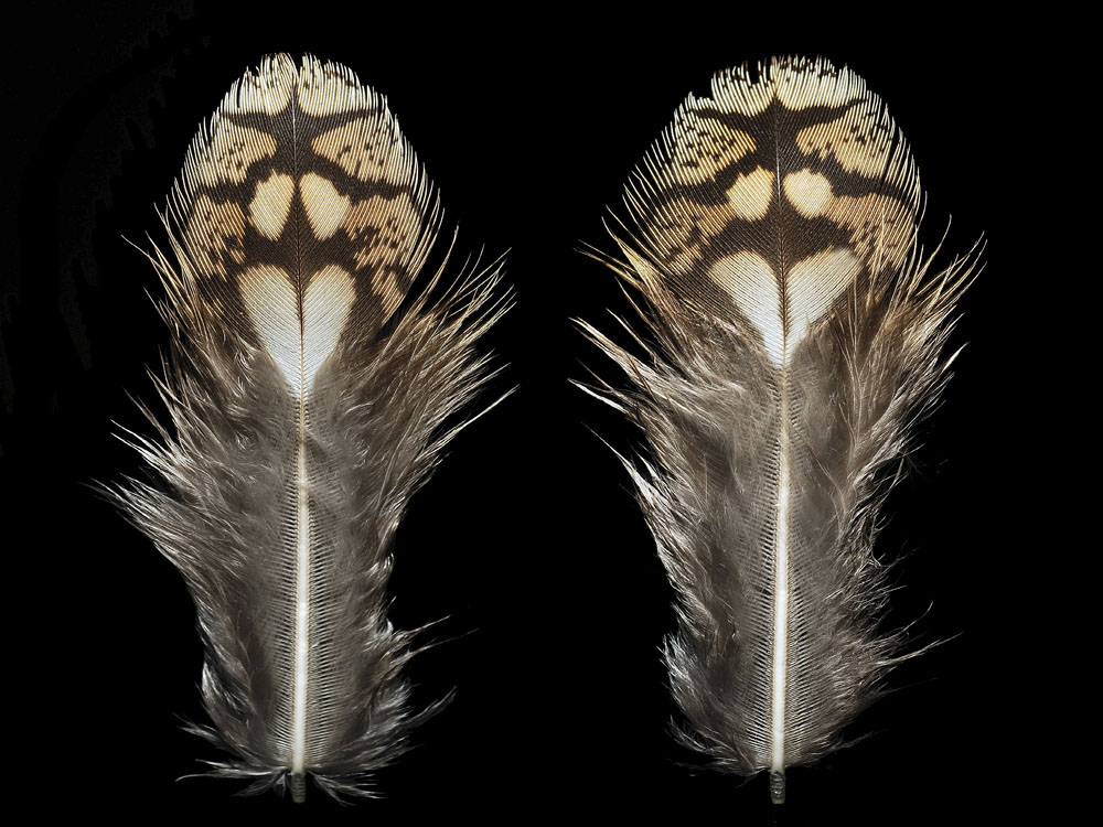 These are not big-breasted love demons. The patterns merely help a sharp-tailed grouse to hide. Photo: Chris Maynard