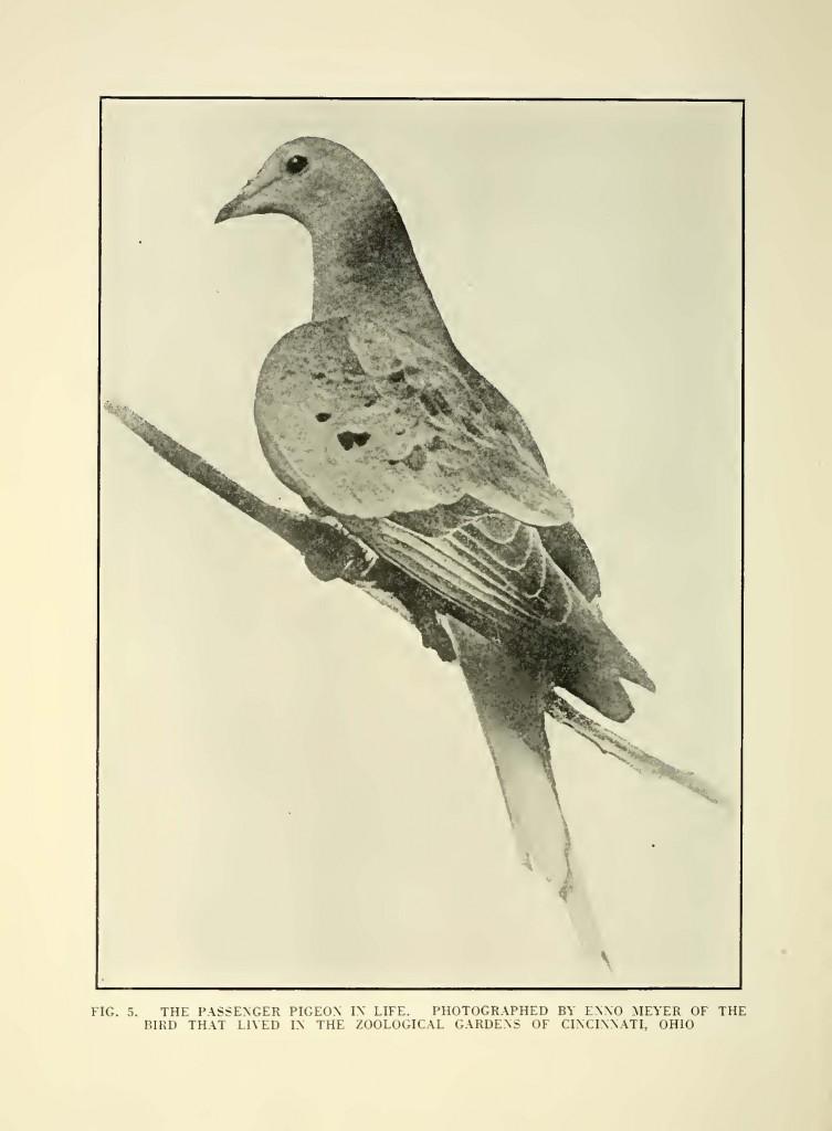 Passenger pigeon project, Eclipse