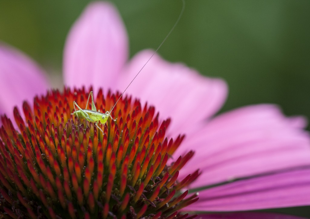 Short-winged meadow katydid