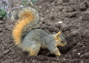 Fox Squirrel Digging in a Garden