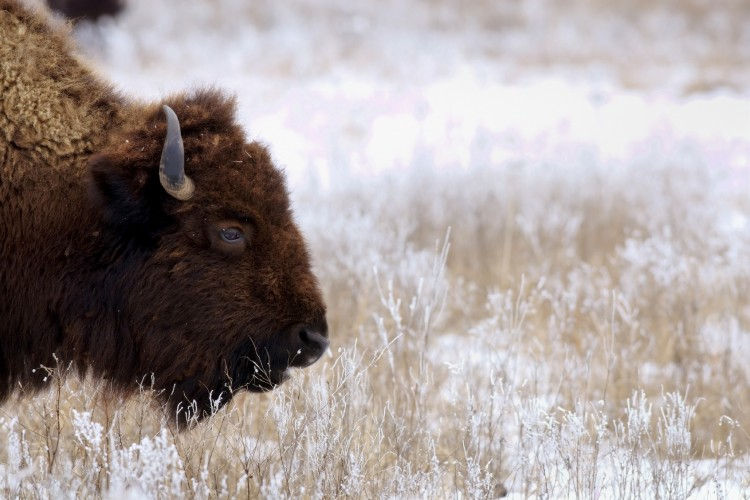 A Reunion of Bison and Tallgrass