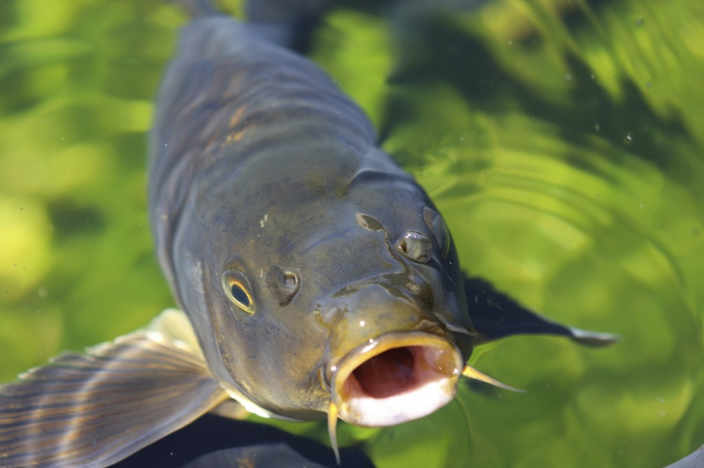Carp traps center for humans nature for Can you eat carp fish