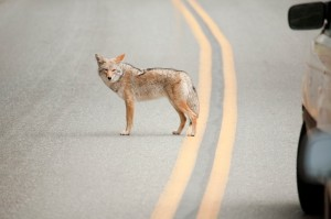 Coyote standing in the road.