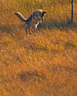 Coyote leaping in the grass.