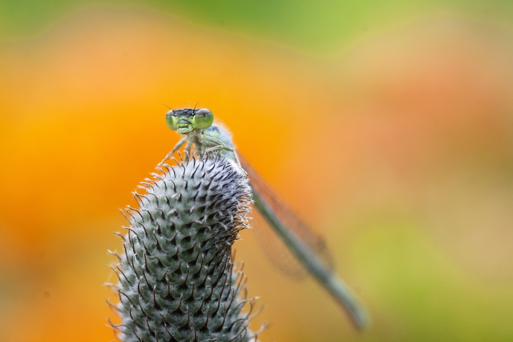 fork-tailed damselfly
