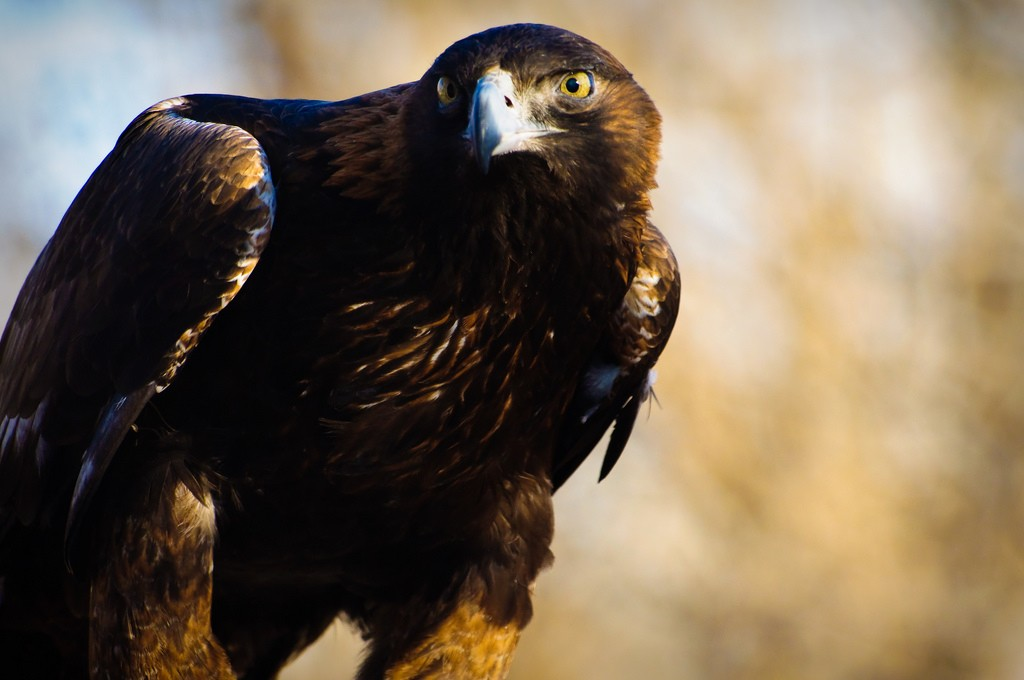 golden eagle_Kingham