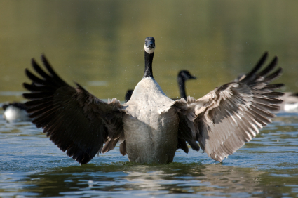 407d8261116 Wild Goose Chase | Center for Humans & Nature