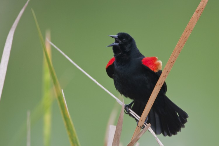 The Red-winged Knows: Rewilding on a Chicago Shore