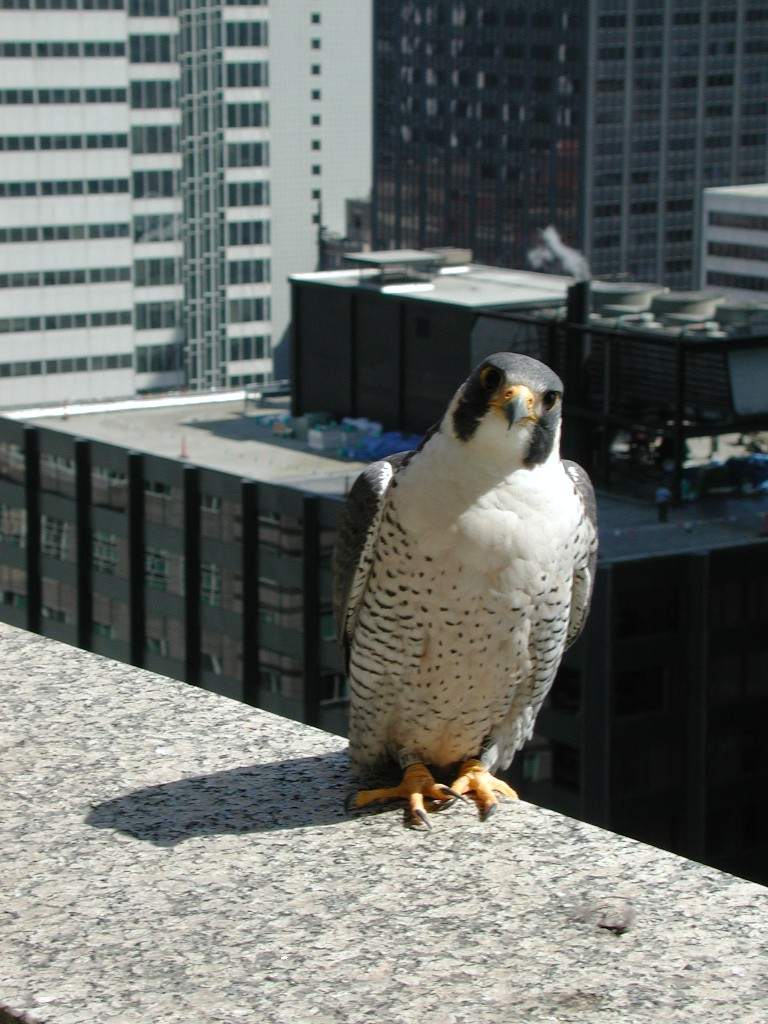 Peregrine falcon on building ledge.