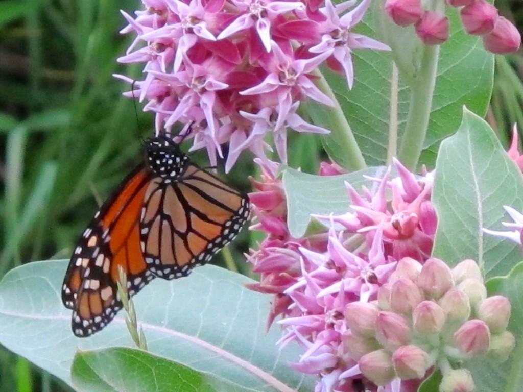 monarchonmilkweed