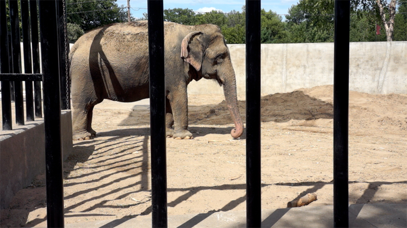 Niabi Zoo, Coal Valley, Illinois, closed exhibit and shipped elephants to Little Rock Zoo, instead of sanctuary