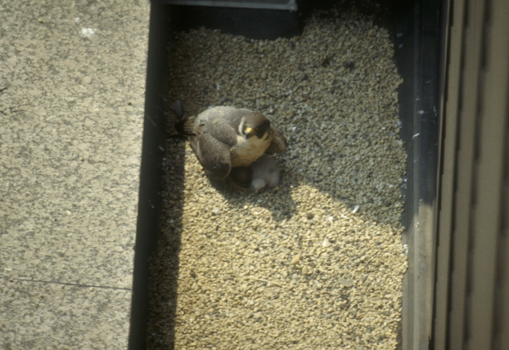 Peregrine falcon brood