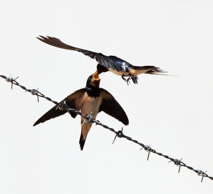 Swallows + Swifts = Air + Light