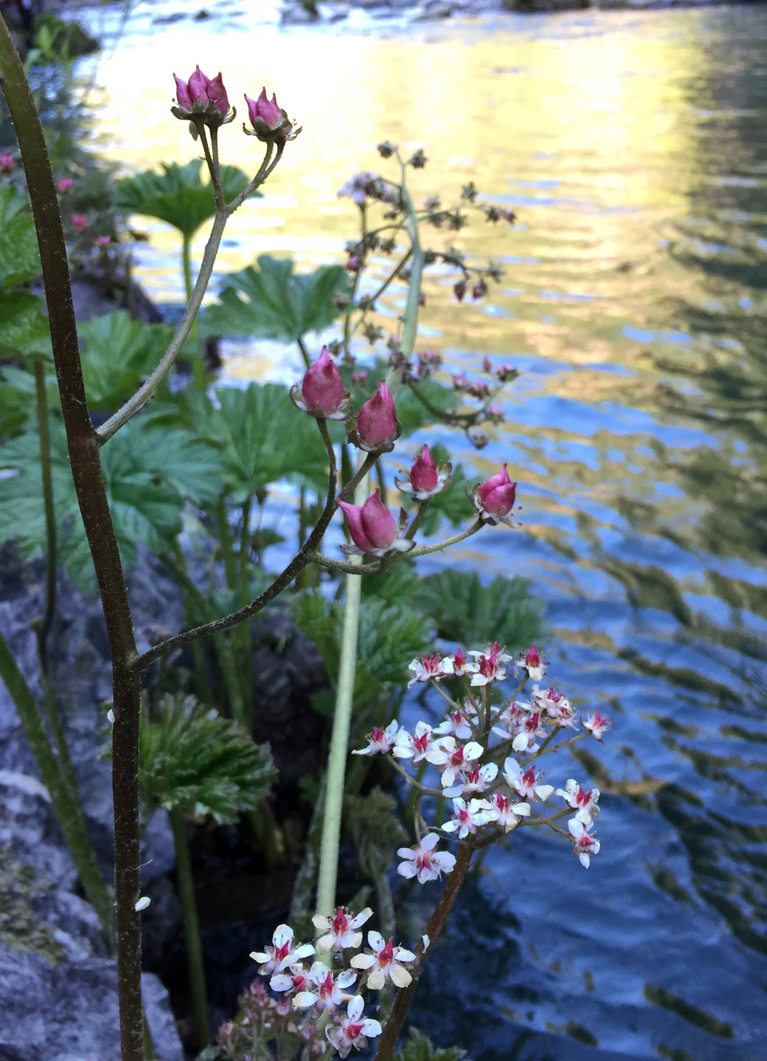 Indian rhubarb (Darmera peltata), on the edge of the McCloud River