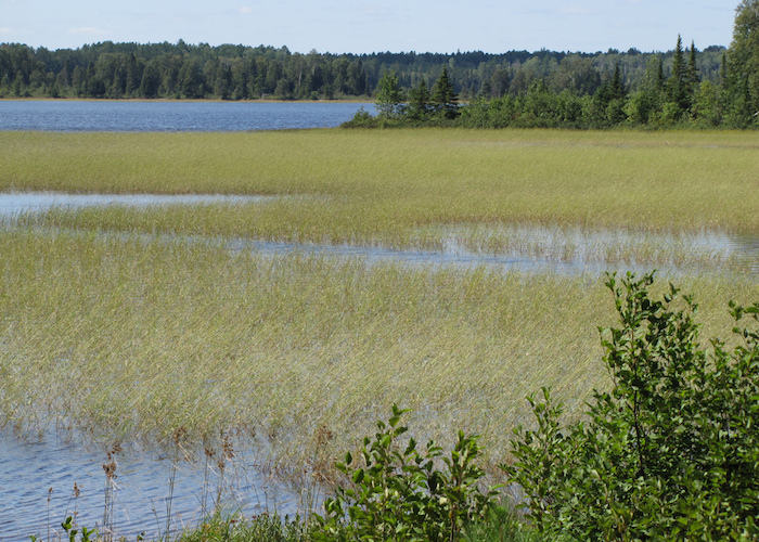 A field of wild rice on a northern lake.
