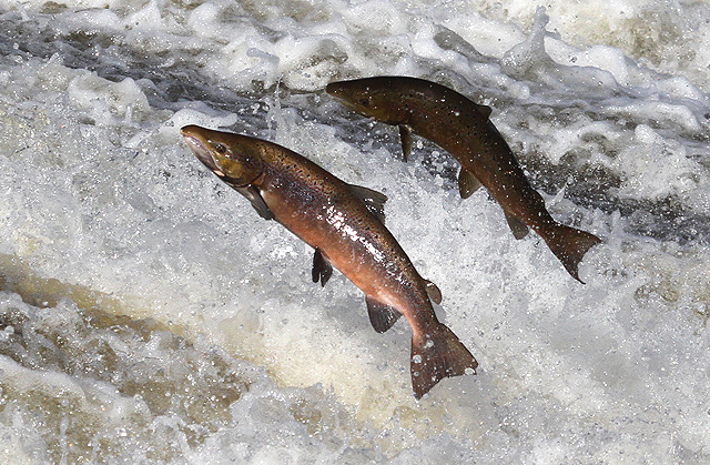 Jumping salmon at Murray's Cauld, Philiphaugh, Scottish Borders, Great Britain