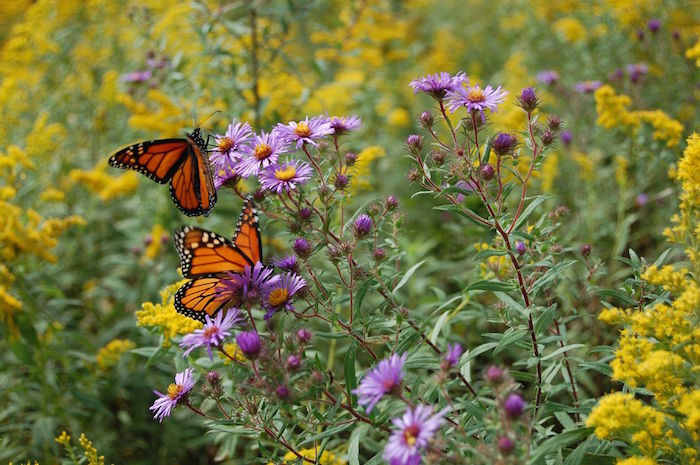 Monarch butterflies among goldenrod and purple aster