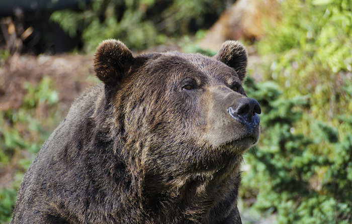 Close up of a Grizzly Bear