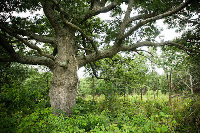 A large burr oak in a lush field