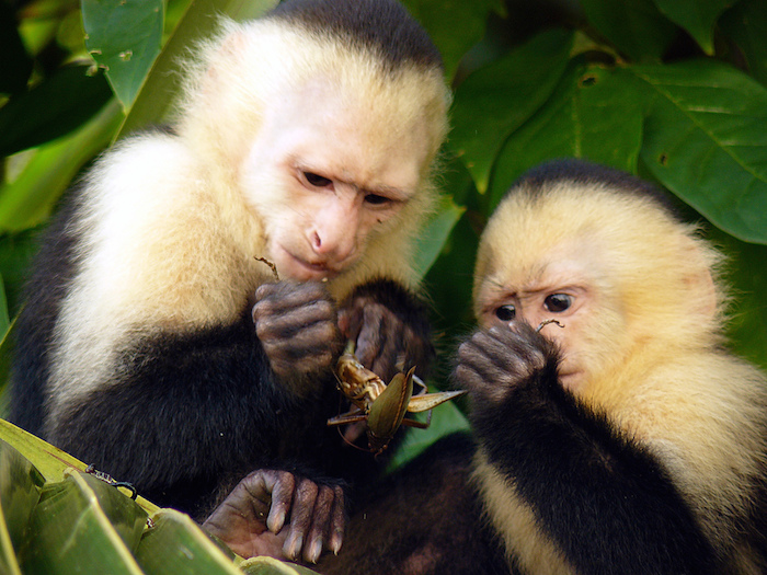 Capuchin monkeys sharing a grasshopper