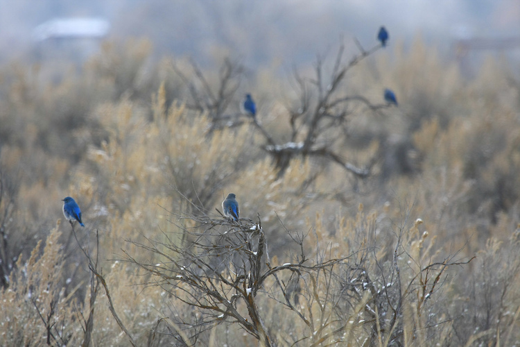 Mountain bluebirds pearched atop a bush