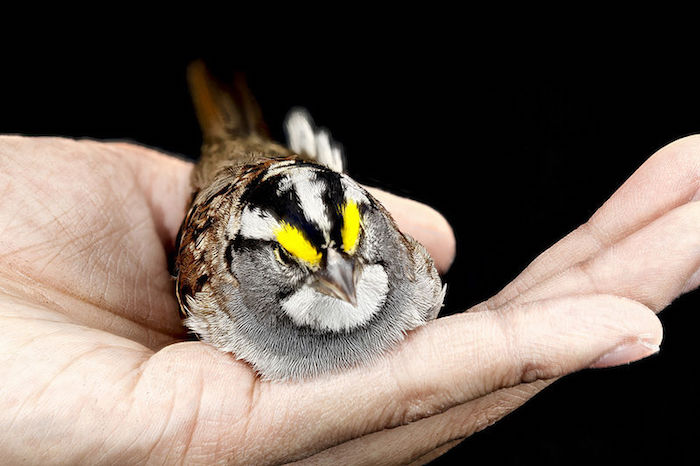 White-throated Sparrow in the palm of a hand