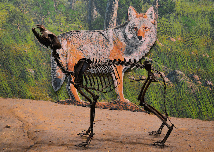 Dire wolf skeleton on display