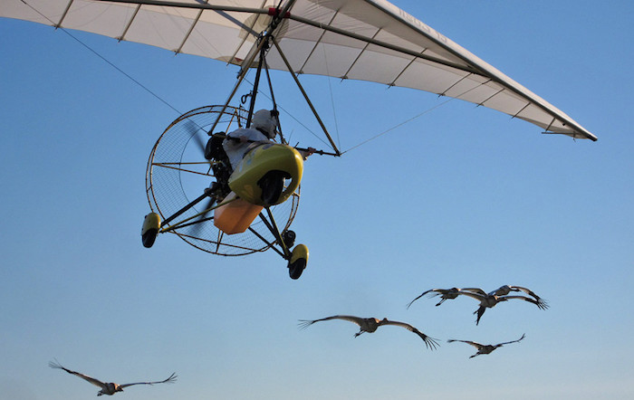 Ultralight pilot leading a flock of whooping cranes