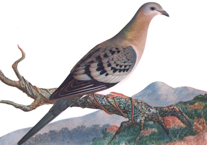 Illustration of a female passenger pigeon