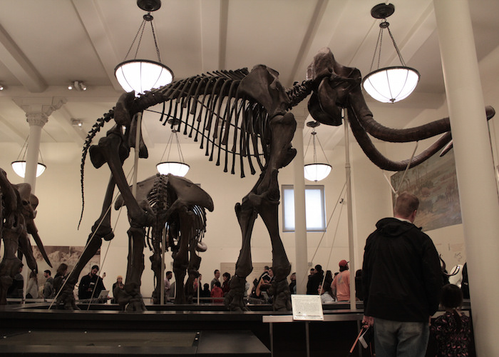 Wolly mammoth fossils on display at the American Museum of Natural History