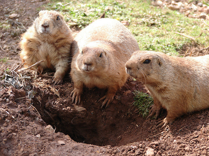 Three prairie dogs on the edge of their burrow