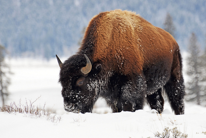Bison in snow grazing