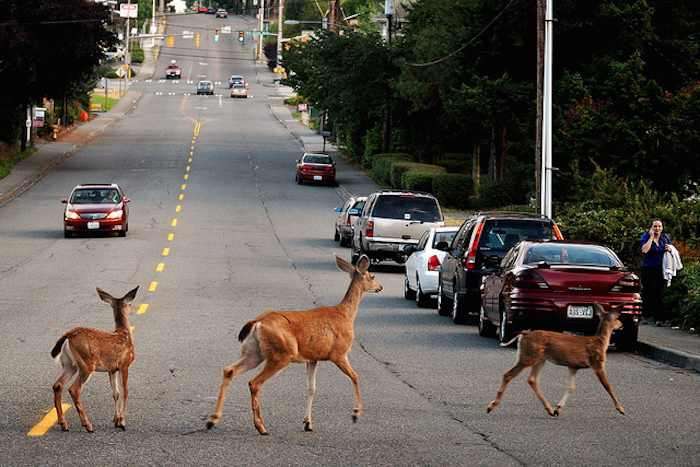 Deer crossing busy road.