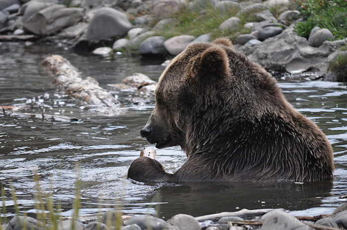 Grizzly bear sitting in water eating a fish in Montana