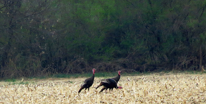 Wild turkey flock foraging in old cornfield
