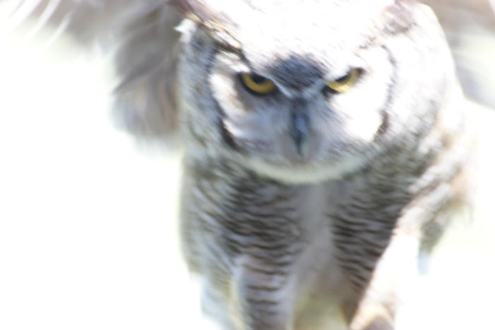 A great horned owl swooping in.