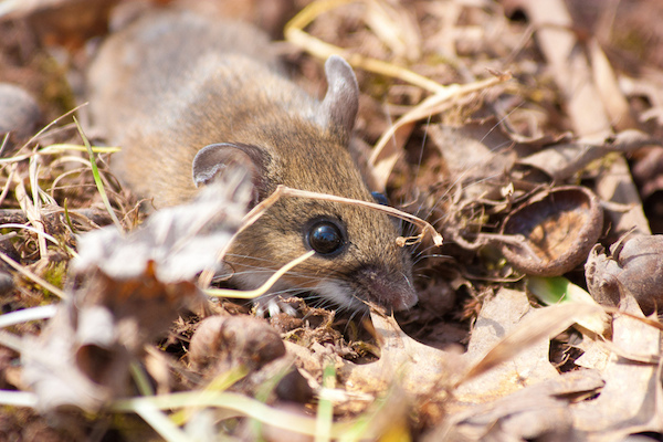 Field mouse in the leaves.