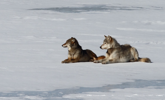 Wolves sitting in the snow