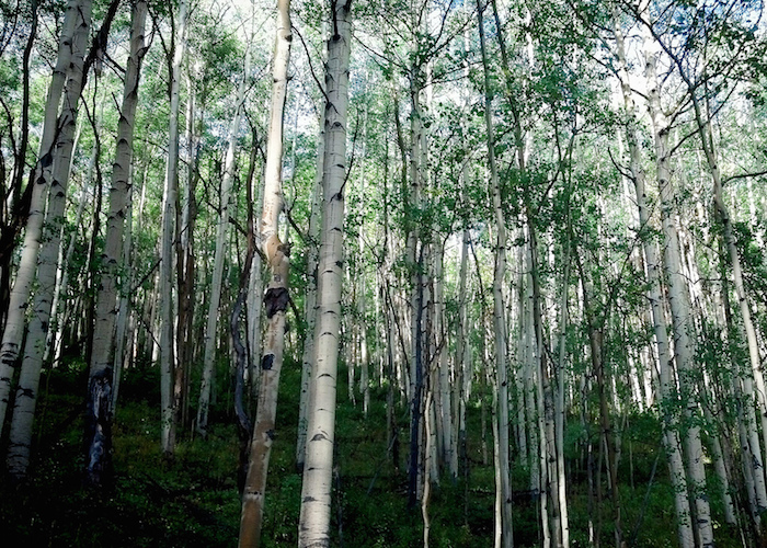 Daylight shining through an aspen grove