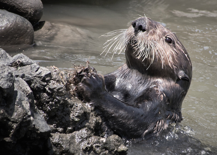 Sea otter diving for mollusks and using rocks to open them