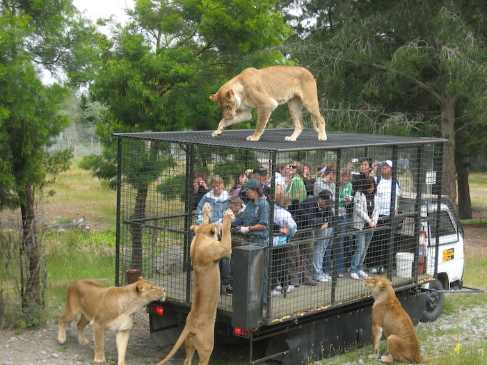 Lions surrounding humans in a cage